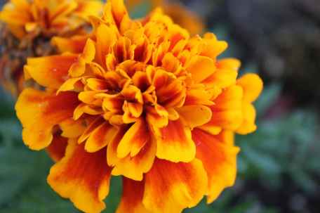 close up photography of marigold flower